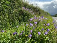 Wild Purple Flowers By The Roa...