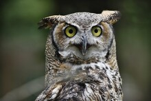 Great Horned Owl Stare Down
