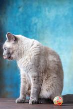 Thai Cat Sits And Licks Next T...