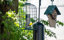 A Pair Of Goldfinches, Male And Female, Eating Black Oil Sunflower Seeds At A Bird Feeder In A Backyard