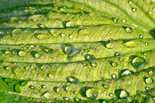 Drops Of Dew On Large Leaves Of Hosta Plant