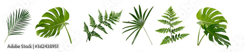 Obraz set of green monstera palm and tropical plant leaf on white background for design elements, Flat layd.clipping path - fototapety do salonu