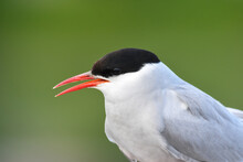 An Arctic Tern Rests On The Al...