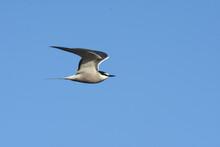 An Aleutian Tern Flies Over The Alaskan Ocean During The Summer Months.