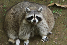 Fat Raccoon