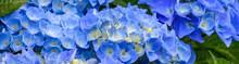 Classic Blue Hydrangea Bushes ...
