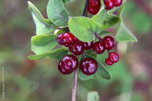 Beautiful poisonous wolf berries photographed on a background of green sheets Wallpaper Mural