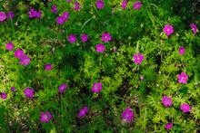 Geranium Sanguineum On A Green...