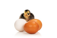 Ugly Chicken Near Eggs