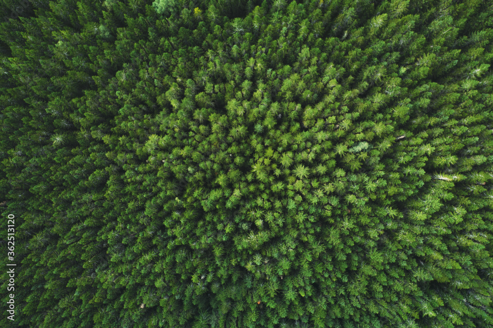 Fototapeta Aerial view coniferous forest trees drone landscape flying above woods scandinavian nature top down scenery
