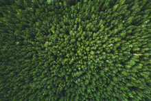 Aerial View Coniferous Forest ...