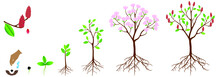 Cycle Of Growth Of Pink Magnolia Plant On A White Background.