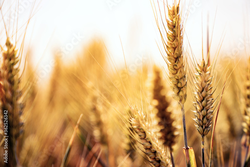 Fototapeta Fields of wheat at the end of summer fully ripe obraz