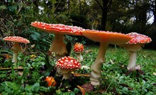 Closeup Of Vibrant Fly Agaric Mushrooms Growing On Forest Floor