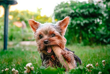 A Dog A Yorkshire Terrier Pupp...
