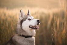 Siberian Husky Sled Dog Close ...