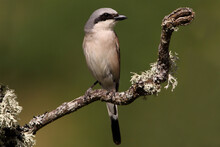 Red-backed Shrike Male With Th...