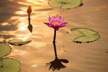Pink Lotus Flowers Are Bloomin...