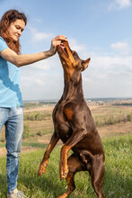 The Girl Feeds A Brown-and-tan Doberman Dobermann With A Treat From Her Hand. The Dog Reaches For The Hand. Vertical Orientation.