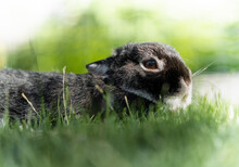 Portrait Of A Cute Black Netherland Dwarf Rabbit, The Smallest Breed Of Rabbits. This Adult Rabbit Weights Less Than 1 Kilogram.