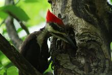 Pileated Woodpecker, Female, H...