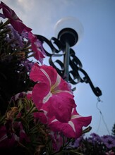 Vertical Low Angle Shot Of Pink Petunias On The Background Of A Street Lamp