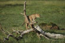 Cheetah In Savannah In Kenya