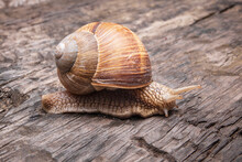 Snail On Wooden Table. Helix P...