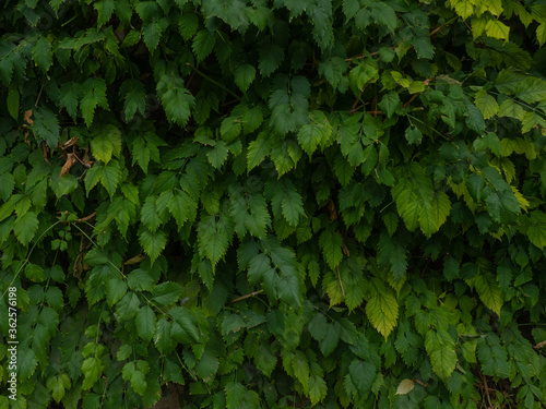 Tablou Canvas green leaves background