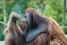 Orangutan Ape Thinking With Blurred Background