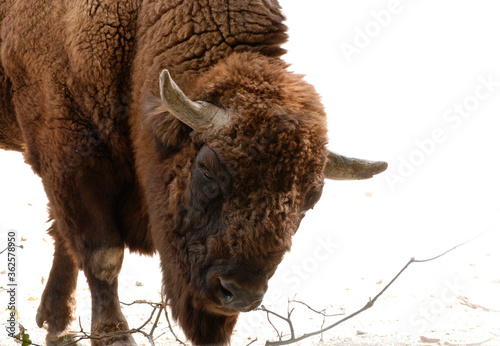 Fotografie, Obraz Wild bull, bison of dark brown color, horns, light background