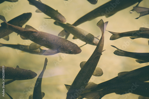 Fotografía Flock of fish in the river of Croatia national park.