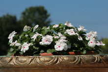 White  Flowers In The Clay Pot...