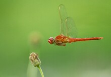 Dragon Fly Is In Search Of Food
