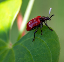 The Lily Leaf Beetle Is Sticking On Big Green Leaf In Forest, Macro Insect.