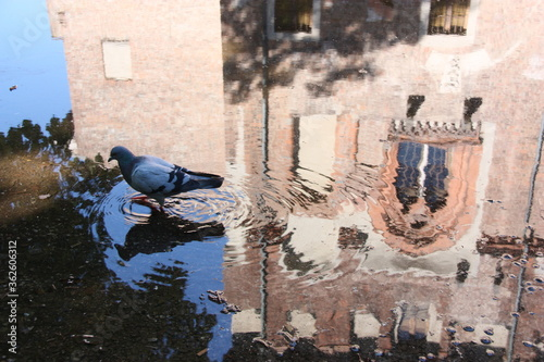A Pigeon Walks In A Puddle With The Reflection Of A Castle Canvas Print