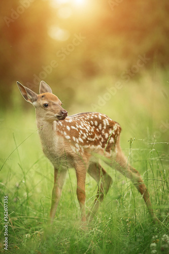 Bambi fawn in the grass in summer on a Sunny day Canvas Print