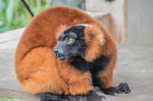 Weird Red Ruffed Lemur At Artis Zoo Amsterdam The Netherlands 2018
