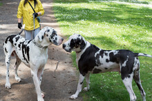 Two Harlequin Great Dane Dogs Saying Hi At A Summer Outdoor Park.