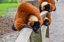 Red Ruffed Lemur At Artis Zoo Amsterdam The Netherlands 2018