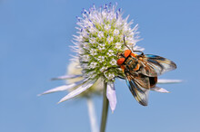 Insect Phasia Hemiptera, A True Fly, On Eryngium Planum ( Flat Sea Holly ) In Front Of Blue Sky, Germany