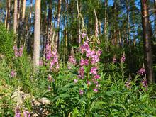 Chamaenerion Purple Flowers