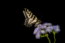Western Tiger Swallowtail Butterfly (papilio Rutulus) Feeding On Butterfly Mist (Ageratum Corymbosum) Plant