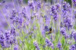 canvas print picture Close-up Of Bee Pollinating On Purple Lavender