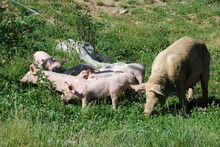 Some Piglets Run In A Meadow