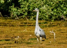 Heron Standing In Lake