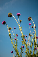 Blossoming Thistles Against Th...