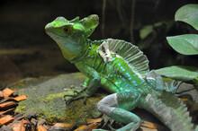 Shedding Lizard Sitting On A R...