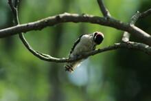 Male Downy Woodpecker Pecking ...