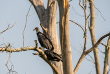 Two Vultures Sunning  On A Dea...